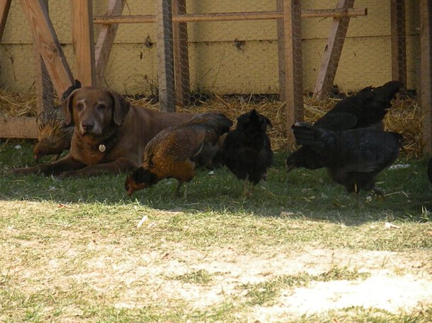 I learned to accept and be still, just like our retired hunting dog did when we got chickens.