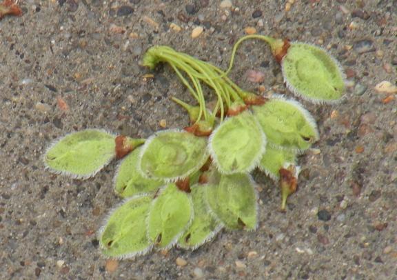 Elm seeds fallen