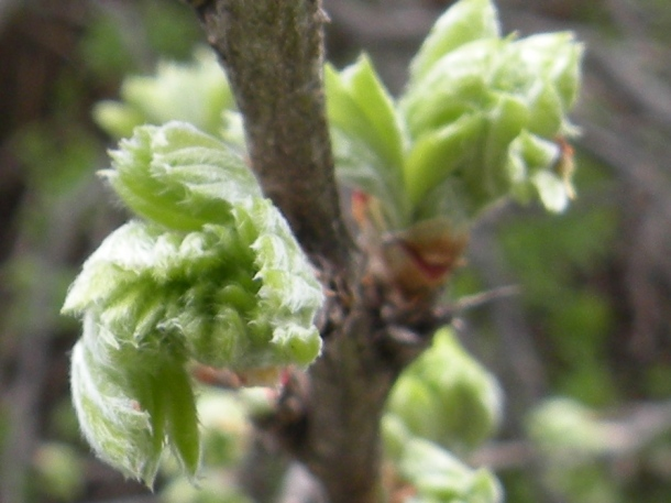 bursting buds and emerging foliage