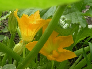Zuchinni Blossoms