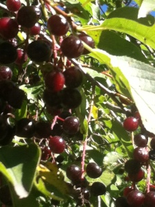 Chokecherries grow on small to medium sized trees, often found on the edges of wooded areas or standing alone in the open. Their tart fruits have a single small pit and make you pucker at the first taste.