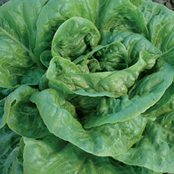 Winter Density Lettuce